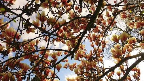 Discovering Beautiful Magnolia Tree