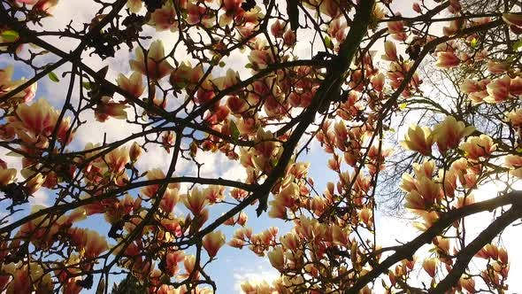 Thumbnail for Discovering Beautiful Magnolia Tree