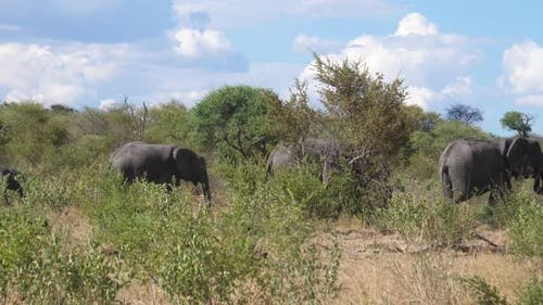 Herd of African Bush elephants passing by