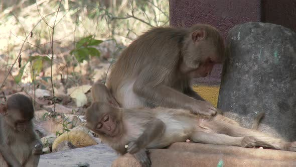 Rhesus Macaque Adult Young Several Grooming Cleaning in Spring Ticks Ectoparasites