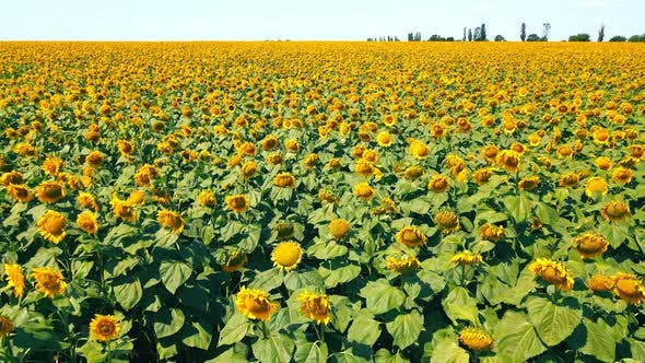 Aerial Low Flight Over a Large Field of Ripe Sunflowers