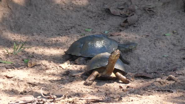Thumbnail for Two African helmeted turtles on the sand