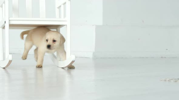 Thumbnail for Labrador puppy walks under a chair in a white room