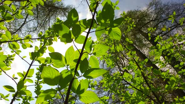 Thumbnail for Intensive Green Leaves in Spring Forest