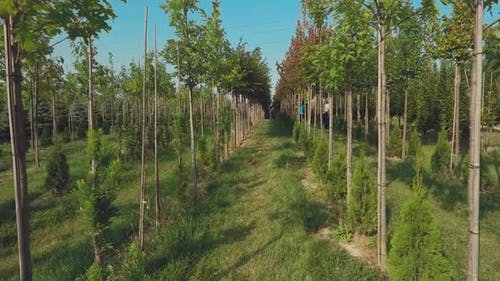 Trees Grow in Neat Rows in the Garden
