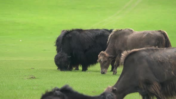 Black and Brown Yaks Grazing in the Meadow