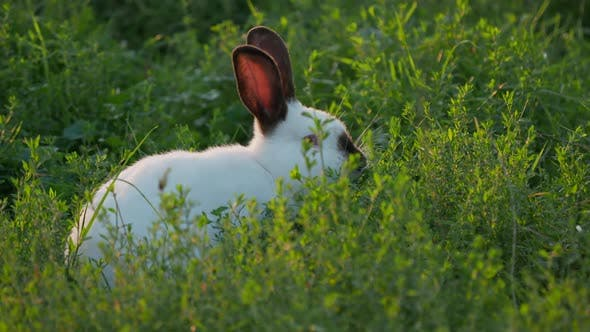 White Rabbit with Black Ears Crawling in Grass. Summer Sunset Background with Fluffy Farm Animal.