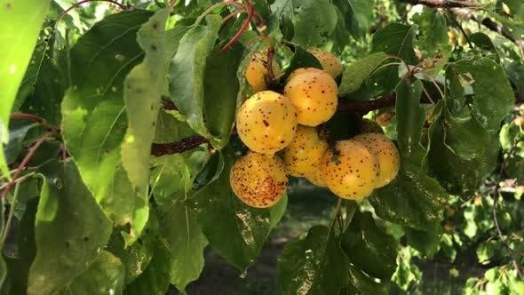 Thumbnail for Apricot Tree