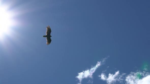 Thumbnail for Eagle Gliding In A Clear Sky, Bottom View