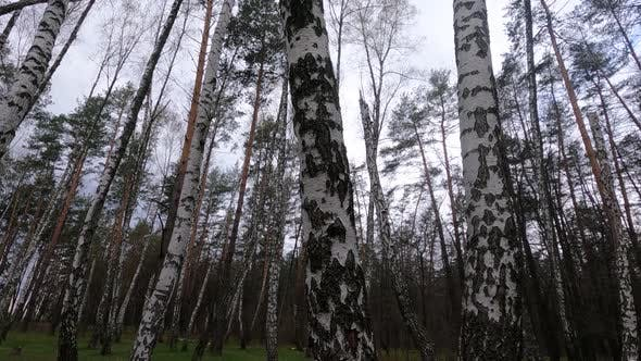 Forest with Birches in the Afternoon