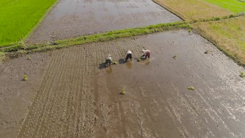 Farmers Are Planting Rice