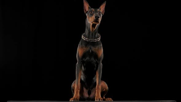 Frontal Portrait of a Doberman Pinscher Sitting in a Studio Against a Black Background