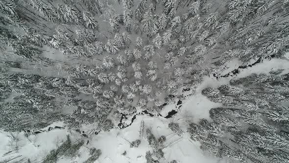 Thumbnail for Tall Dense Old Spruce Trees Grow on a Snowy Slope