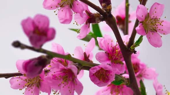 Thumbnail for Pink Cherry Tree Flowers Blossoms