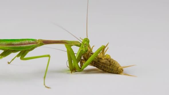 Thumbnail for Praying Mantis feeding on a Cricket