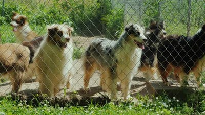Active Dogs of the Breed Australian Shepherd in the Aviary