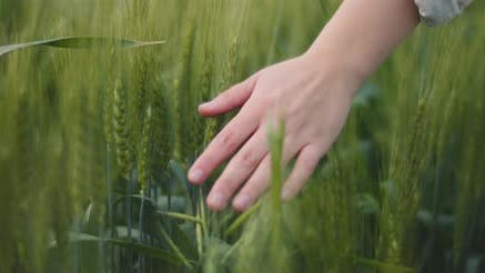 Woman's hand touching green grass in a wheat field