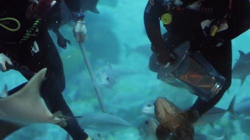 Divers Feed Steengray in Oceanarium