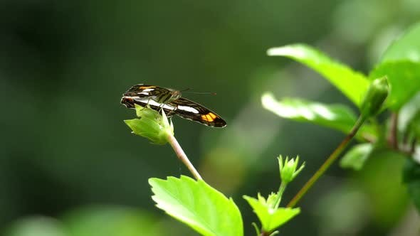 Thumbnail for Awesome Tropical Butterfly Resting on a Leaf in the Forest
