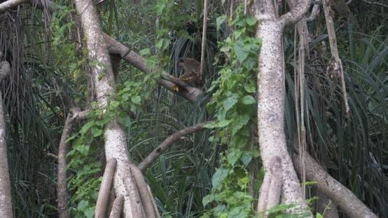 Toque Macaque - Macaca Sinica - in Sri Lanka
