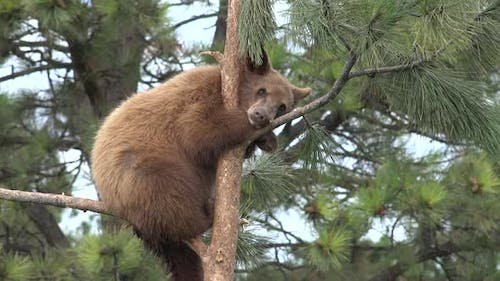Black Bear Immature Lone Resting in Summer Tree Conifer Branches Brown Phase