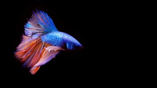 Siamese Fighting Fish Betta Splendens 13