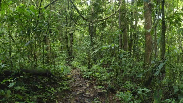 Walking in a tropical forest with lianas hanging down and many grades of green