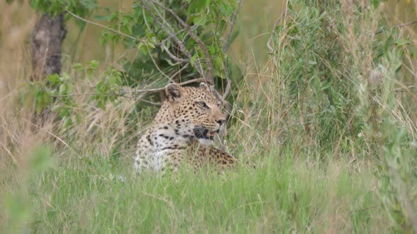 Thumbnail for Leopard laying in the grass