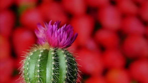 Thumbnail for Green Cactus with Sharp Needles and Pink Purple Flower