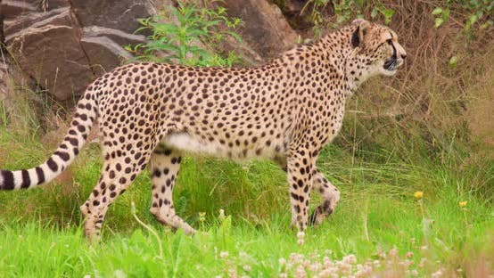 Cheetah Looking Around While Walking in Forest
