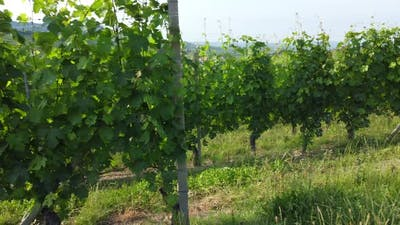 Vineyards Agriculture