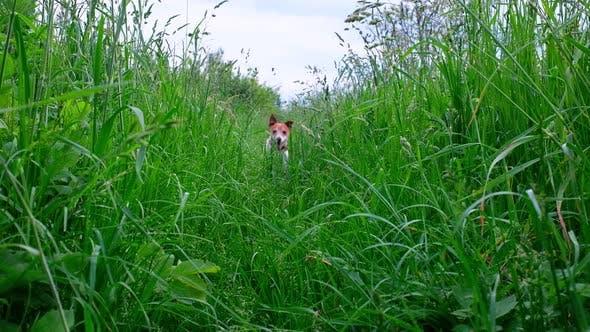 Jack Russel Terrier Puppy Running in Big Grass