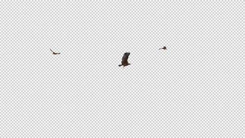 Tropical Kites - Three Birds - Flying Loop