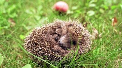 Little hedgehog in grass. Forest hedgehog on a background of green grass
