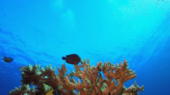 Reef Coral Sea