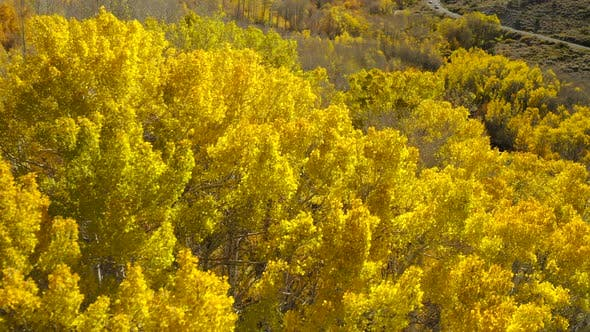 Thumbnail for Flying Over the Bright Yellow Treetops of the Autumn Forest. Vibrant Natural Fall Colors.