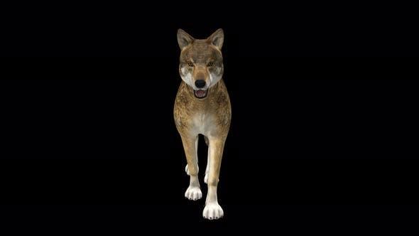 4K Wolf Walk Front View