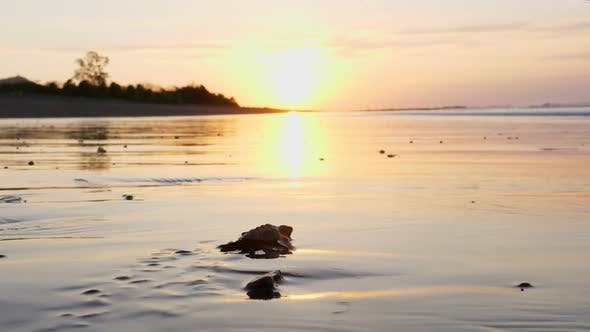 Thumbnail for Atlantic Ridley sea Baby Turtles Crossing the Beach at Sunrise
