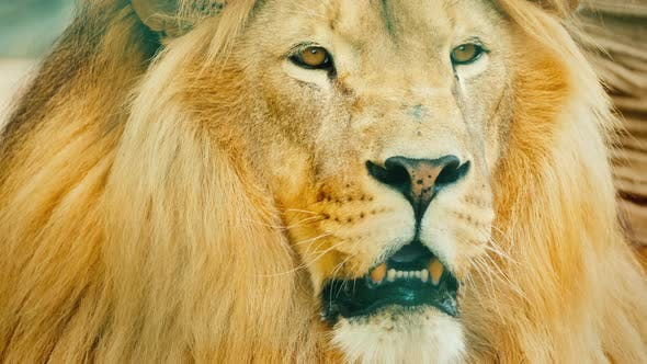 Thumbnail for The Male Lion Carefully Looks Forward in Front of Him