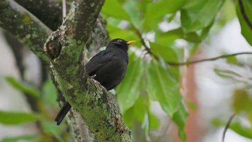Common Blackbird or Turdus Merula Perched on Tree