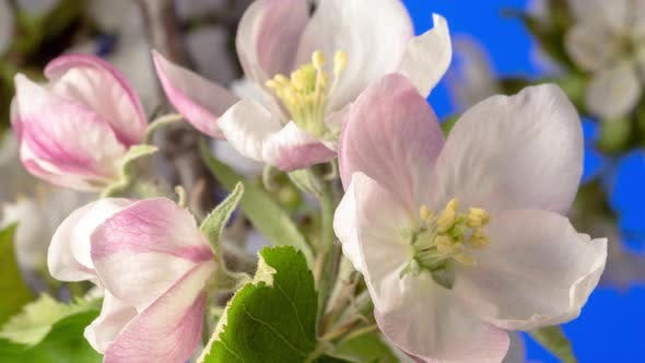Thumbnail for Apple Blossom Timelapse Rotating on Blue
