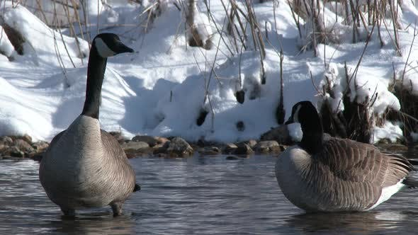 Canada Goose Adult Pair Geese in Spring in South Dakota