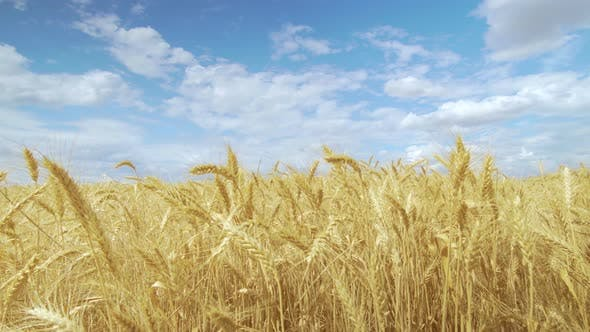 Thumbnail for The Field Wheat Against the Blue Sky, Spikelets of Wheat with Grain Shakes Wind, Grain Harvest