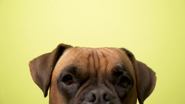 Thumbnail for Portrait of a dog breed Boxer Terrier on an yellow background
