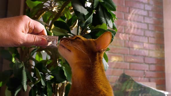 Cover Image for Abyssinian Cat Eat Cream Soup