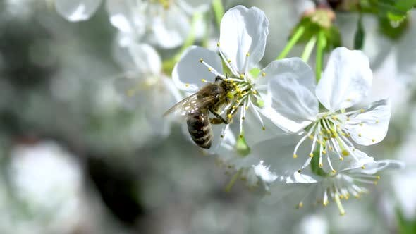 A Bee Pollinates a Flowering Cherry Tree. Bee on a Flower Close-up.