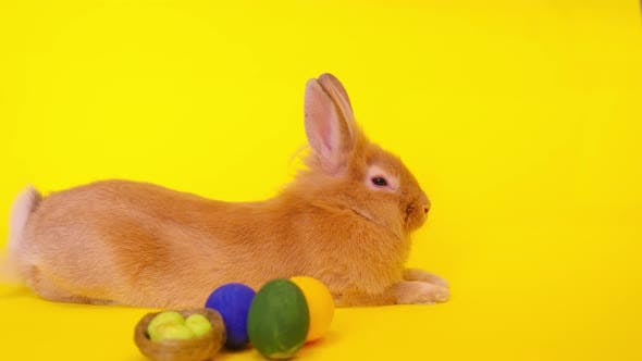Curious Calm Fluffy Brown Rabbit Sits on a Yellow Background Easter Bunny for the Holiday