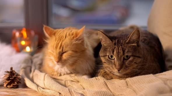 Thumbnail for Two Cats Lying on Blanket at Home Window Sill 22