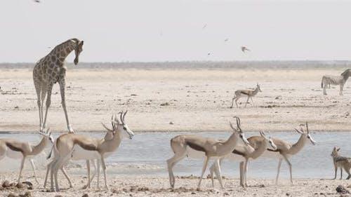 Crowded Waterhole and Drinking Giraffe