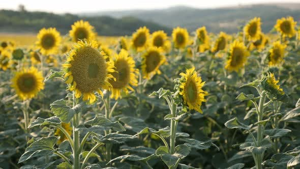 Thumbnail for Sunflowers colorful background close-up 3840X2160 UltraHD footage - Field of Helianthus plant before